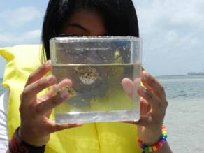 Music student looks at a blow fish caught in the seagrass.